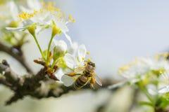 Abeja en la flor blanca del ciruelo con polen en primavera Ciérrese encima del mac Imagen de archivo libre de regalías