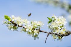 Abeja en la flor blanca del ciruelo con polen en primavera Ciérrese encima del mac Imagenes de archivo