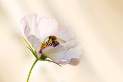 Abeja en la flor blanca del cosmos Fotos de archivo