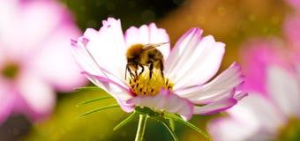 Abeja en la flor blanca del cosmos Fotos de archivo libres de regalías