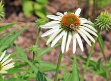 Abeja en la flor blanca del echinacea Imágenes de archivo libres de regalías