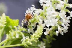 Abeja en la flor blanca del paniculata de Buddleja Fotos de archivo