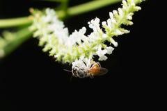 Abeja en la flor blanca del paniculata de Buddleja Imágenes de archivo libres de regalías