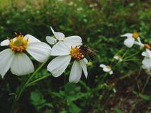 Abeja en la flor blanca en jardín Fotografía de archivo