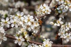 Abeja en la flor blanca en primavera Fotografía de archivo libre de regalías