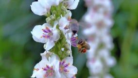 Abeja en la flor blanca que recoge el néctar Fotografía de archivo
