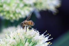 Abeja en la flor blanca que recoge el polen Imagenes de archivo