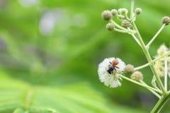 Abeja en la flor blanca que recoge el polen chupe el néctar de las flores Fotos de archivo