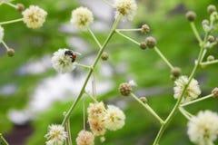 Abeja en la flor blanca que recoge el polen chupe el néctar de las flores Foto de archivo