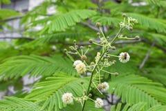 Abeja en la flor blanca que recoge el polen chupe el néctar de las flores Fotografía de archivo