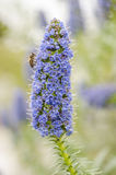 Abeja en la flor: candicans del echium Imagen de archivo