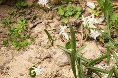 Abeja en la flor Chionodoxa Imagen de archivo libre de regalías