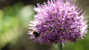 Abeja en la flor, cierre para arriba Imagenes de archivo