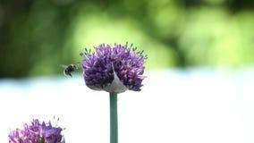 Abeja en la flor, cierre para arriba Fotografía de archivo libre de regalías