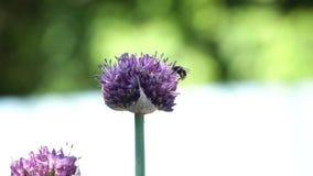 Abeja en la flor, cierre para arriba Imagen de archivo libre de regalías