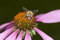 Abeja en la flor, cierre para arriba Imagen de archivo