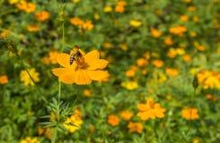 Abeja en la flor con el espacio para el texto Fotos de archivo libres de regalías