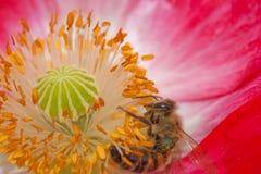 Abeja en la flor con polen Imagen de archivo