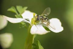 Abeja en la flor (díptero) Imagen de archivo