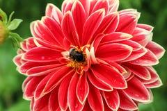 Abeja en la flor Dahlia Georgina Foto de archivo libre de regalías