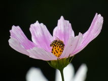 Abeja en la flor de Bipinnatus del cosmos del cosmos del jardín Imagen de archivo