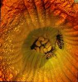 Abeja en la flor de la calabaza Imagenes de archivo