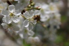 Abeja en la flor de la cereza Imagen de archivo libre de regalías
