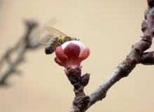 Abeja en la flor de cerezo Foto de archivo