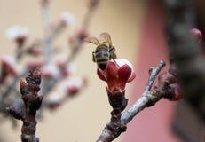 Abeja en la flor de cerezo Imagen de archivo