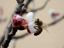 Abeja en la flor de cerezo Foto de archivo libre de regalías
