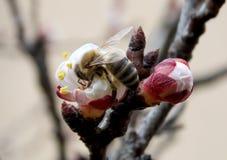 Abeja en la flor de cerezo Fotos de archivo