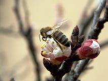 Abeja en la flor de cerezo Fotografía de archivo