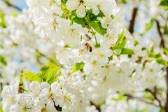 Abeja en la flor de cerezo Imágenes de archivo libres de regalías