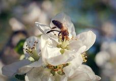 Abeja en la flor de cerezo de la primavera Imágenes de archivo libres de regalías