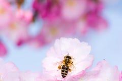 Abeja en la flor de cerezo rosada Fotos de archivo