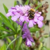Abeja en la flor de color de malva Foto de archivo