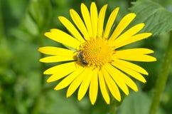 Abeja en la flor de Doronikum Imagenes de archivo
