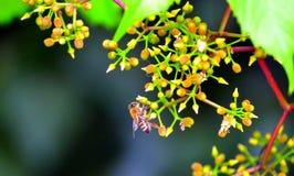 Abeja en la flor de florecimiento Imágenes de archivo libres de regalías