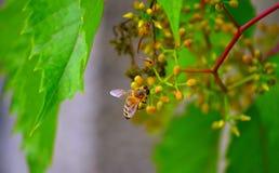 Abeja en la flor de florecimiento Fotografía de archivo libre de regalías