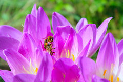 Abeja en la flor de flores rosadas del autumnale del colchicum Foto de archivo