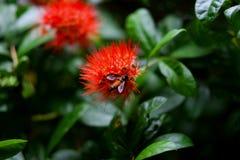 Abeja en la flor de Ixora fotos de archivo