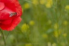 Abeja en la flor de la amapola Foto de archivo libre de regalías