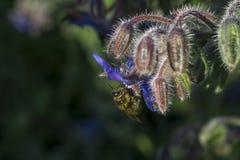 Abeja en la flor de la borraja Imágenes de archivo libres de regalías