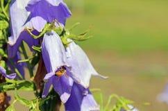 Abeja en la flor de la campanilla Fotos de archivo