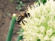 Abeja en la flor de la cebolla Fotografía de archivo libre de regalías