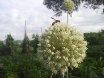Abeja en la flor de la cebolla Fotografía de archivo