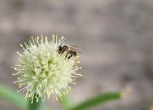 Abeja en la flor de la cebolla Fotos de archivo