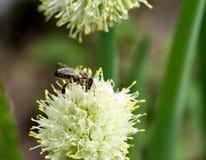 Abeja en la flor de la cebolla Imagen de archivo