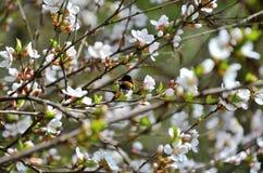 Abeja en la flor de la cereza Imagenes de archivo