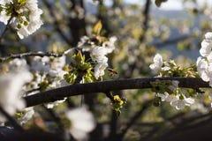Abeja en la flor de la cereza Fotos de archivo